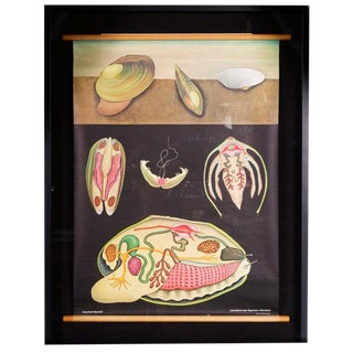 Jung Koch Quentell - Framed Zoology Chart 'Pond Mussel' For Sale