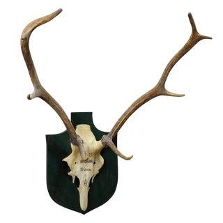 Vintage Deer Trophy Spain El Cerron With Eight Ends For Sale
