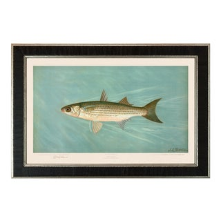 American Fish 32 the Striped Mullet by Harris CFA Edition Giclee Print For Sale