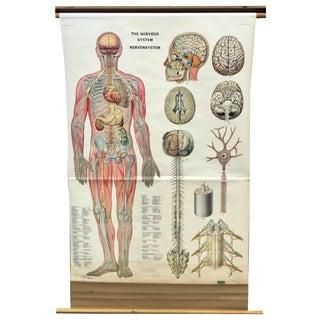 1969 Denoyer Geppert Nervous System Anatomical Chart