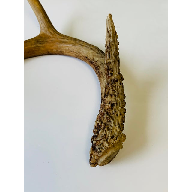 Early 21st Century Naturally Shed Deer Antlers - a Pair For Sale - Image 5 of 10