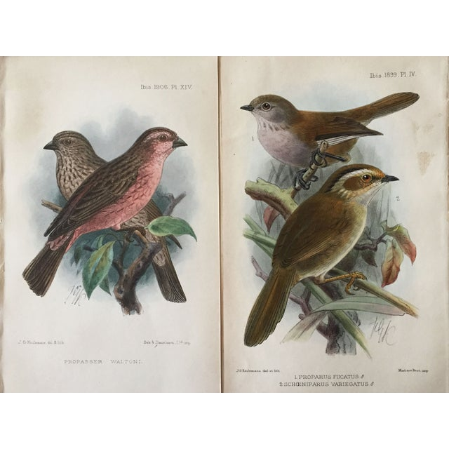 Antique Ornithological Prints - A Pair For Sale