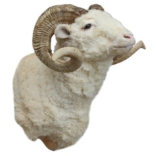 Taxidermy Ram Wall Mount For Sale