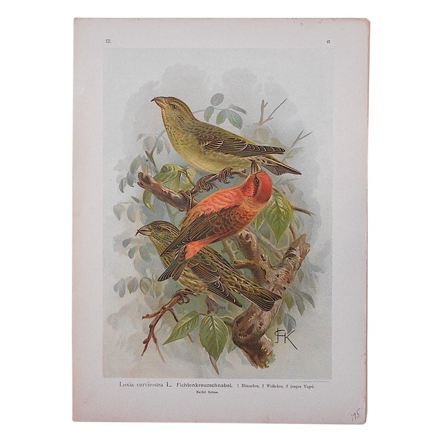 Antique Lithograph - Birds - Image 1 of 3