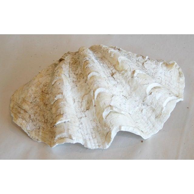 Antique Nautical Seashells Clamshells - Set of 3 - Image 10 of 10