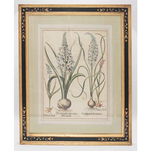 "Contemporary Basil Besler ""Ornithogalum Spicatum"" Botanical Print For Sale - Image 3 of 7"
