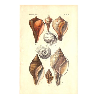 Shells, Antique Print 1882, Matted (No. 19) For Sale