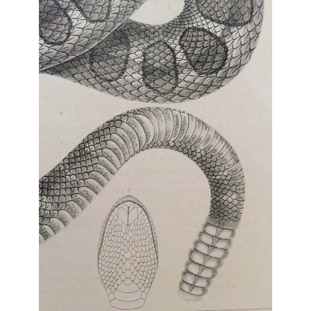 Antique Western Rattlesnake Lithograph C.1860 - Image 4 of 5