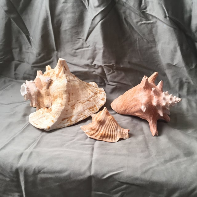 Conch Horn & Shells - Set of 3 - Image 2 of 11