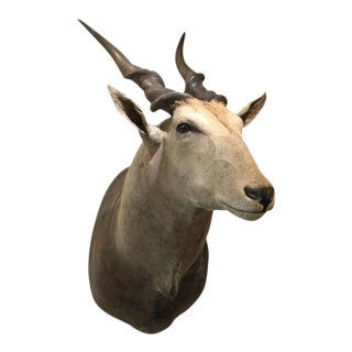 Giant African Eland Taxidermy Shoulder Mount