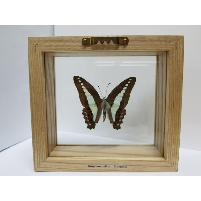 Indonesian Framed Swallowtail Butterfly - Image 4 of 5