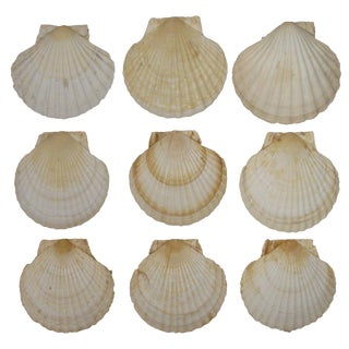 French Coastal Scallop Shells - Set of 9 For Sale