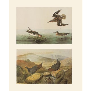 1966 Northern Phalarope and American Dipper by Audubon, Vintage Cottage Print For Sale