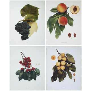 Antique Fruit Photoengravings by Hedrick - Set of 4