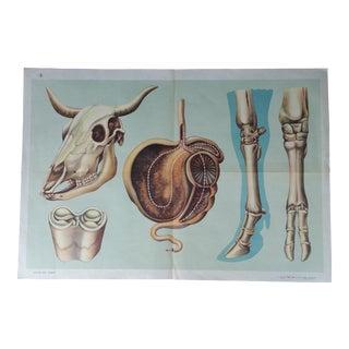 Mid-Century Cow Anatomy Poster