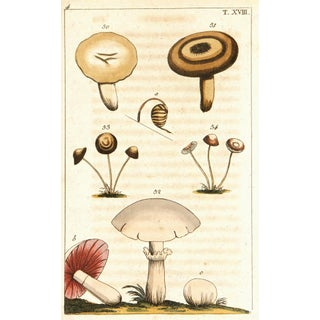 Antique Lithograph - Mushrooms, C. 1750