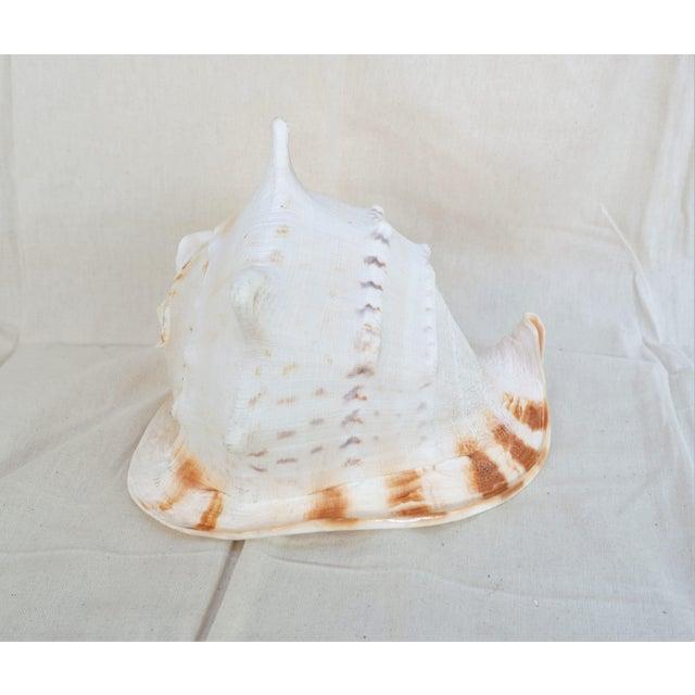 Nautical Large Specimen Cassidae Queen Helmet Shell For Sale - Image 3 of 6