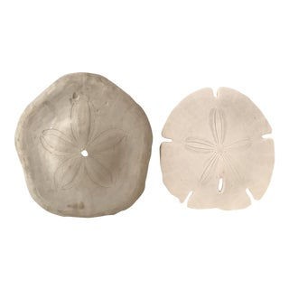 Large Natural Sand Dollars - A Pair For Sale