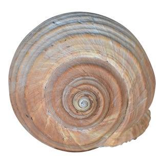 Malea Ringens Shell Speciman For Sale
