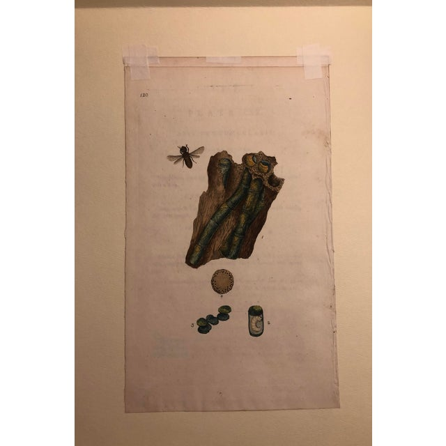 English Traditional 19th Century Antique Entomology Hand Colored Engraving For Sale - Image 3 of 4