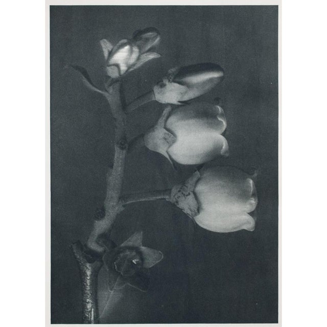 Karl Blossfeldt Double Sided Photogravure N91-92 For Sale In Dallas - Image 6 of 7