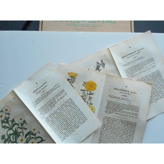 Antique Botanical Engravings - Set of 3 - Image 3 of 6