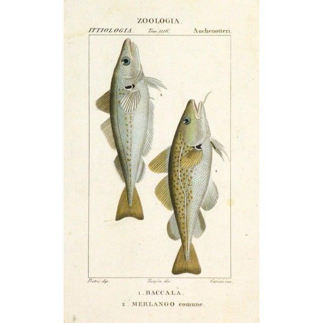 Freshwater Fish Engraving Print, C. 1830 - Image 1 of 4