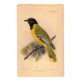 """Oriolus Meneliki"", Limited Edition Bird Lithograph Originally Hand-Colored and Pencil Signed by J. G. Keulemans Del. Et Lith. 1900 For Sale"