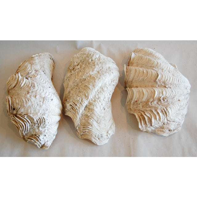 Antique Nautical Seashells Clamshells - Set of 3 - Image 4 of 7