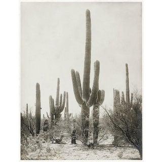 "Contemporary Reproduction of Vintage Saguaro Cactus Photograph - 24"" X 30"" For Sale"