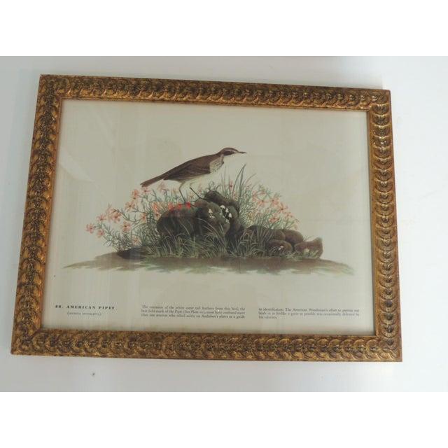 Set of 3 bird prints framed in gold leaf frames. Top: American Pipit bird - 13.5 x 10.5 x 1 Middle: Veery bird - 13 x 9.75...