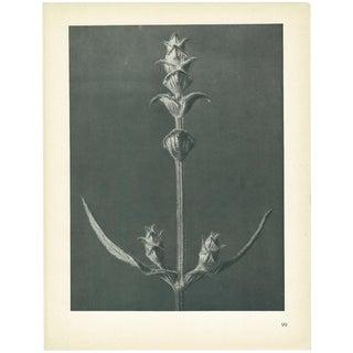 1928 Karl Blossfeldt, Original Period Photogravure N99 of Sage For Sale