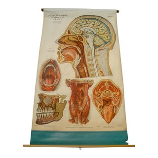 Vintage Medical Pulldown Chart Head & Neck Anatomy For Sale