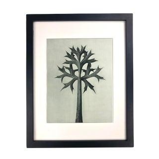 Framed Antique Botanical Blossfeldt Print - No. 32 For Sale