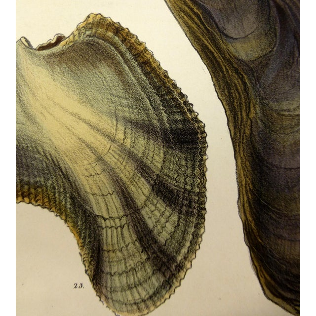 Antique 1878 Sea Shells Oyster Print - Image 2 of 3