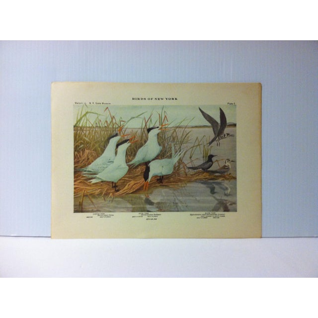 """1925 """"Caspian Tern - Royal Tern - Black Tern"""" the State Museum Birds of New York Print For Sale - Image 4 of 4"""