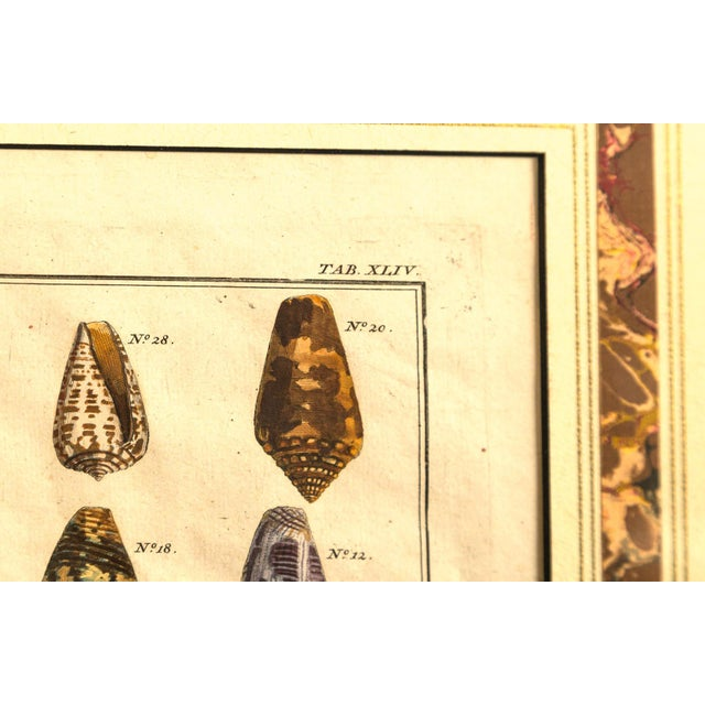 Pair of Framed Hand-Colored Lithographs of Shell Species, 19th Century For Sale In New York - Image 6 of 11