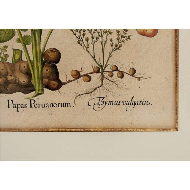 Basil Besler Botanical Print For Sale - Image 4 of 5