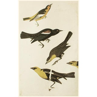 Nuttall's Starling, Yellow-Headed Troopial and Bullock's Oriole by Audubon, VIntage Cottage Print For Sale