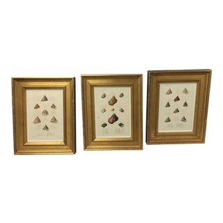 Set of Three Antique Custom Framed Shell Study Prints
