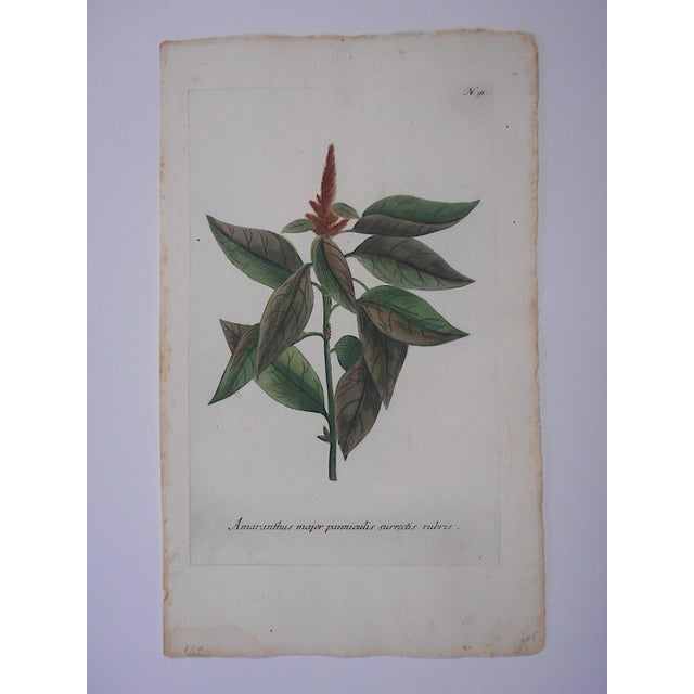 Illustration Circa 1740 Johann Weinmann Botanical Mezzotint Print For Sale - Image 3 of 3