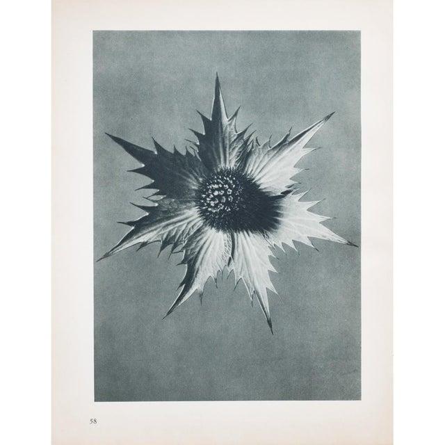 Karl Blossfeldt Double Sided Photogravure N57-58 - Image 5 of 8