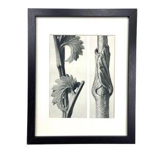 Framed Antique Botanical Blossfeldt Print - No. 71 For Sale