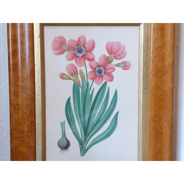 """19th Century English botanical print, in a bird's eye maple frame with a gold liner, 12""""H x 9.25""""W."""