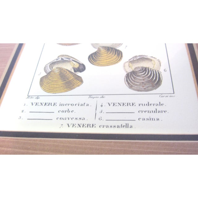 Pair of Vintage Latin Conch Shell Botanicals - Image 4 of 9