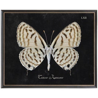 Brown & Cream Butterfly Plate LXII on Black Background in Black Beaded Frame - 32ʺ × 26ʺ