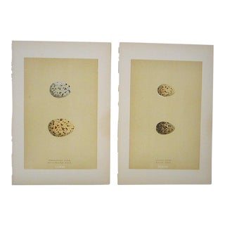 Antique Egg Lithographs-Set of 2-Tern Eggs