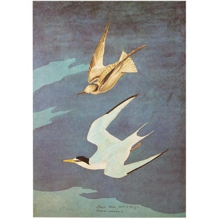 1966 Cottage Lithograph of Lesser Tern by John James Audubon For Sale