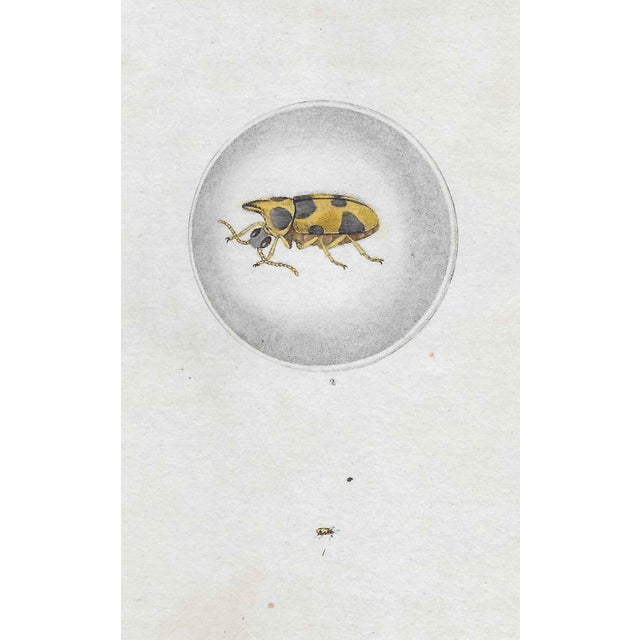 Early 19th Century 19th Century Entomology Engraving For Sale - Image 5 of 5