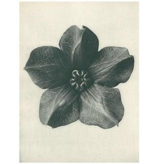 1928 Original Karl Blossfeldt Photogravure N74 of Mexican Ivy For Sale